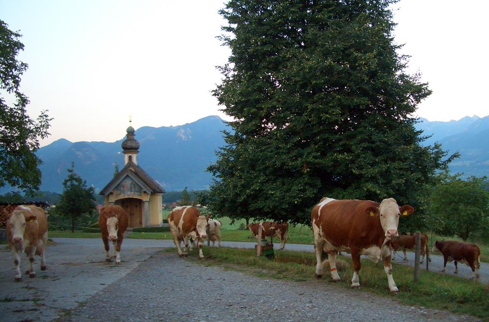 Leckere Milch von gesunden und glücklichen Kühen