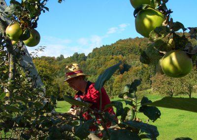Apfelernte - hier hilft jeder mit