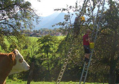 Apfelernte auf dem Niederthanner Hof