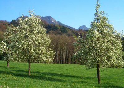 Unsere Obstbäume in voller Blütenpracht