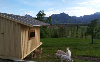 neue Gästeattraktion – die Ziegen ziehen ein